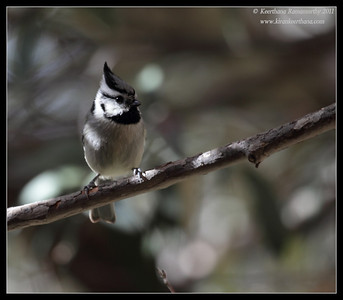 Bridled Titmouse at the Madera Kubo feeders, Madera Canyon, Arizona, November 2011