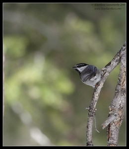 Mountain Chickadee, Mt. San Jacinto State Park, Palm Springs, California, March 2011