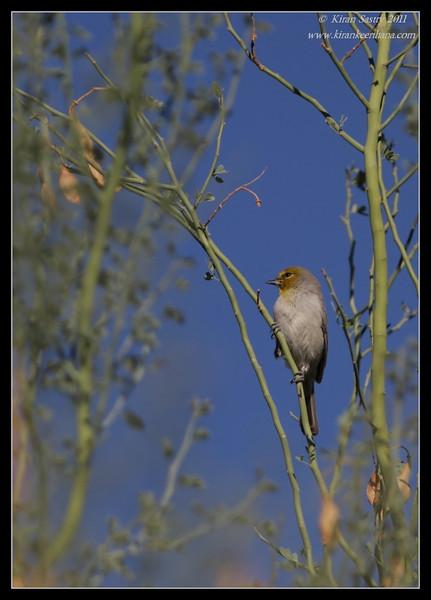 Verdin, near Anza Borrego Desert State Park visitor center, San Diego County, California, October 2011