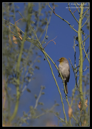 Verdin, near Anza Borrego Desert State Park visitor center, San Diego County, California, October 2011