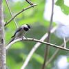 Carolina Chickadee (Poecile carolinensis) Patriot's Point, Charleston SC