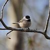 Carolina Chickadee (Poecile carolinensis) Palmetto-Peartree Reserve, Columbia NC