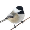 Black-capped Chickadee (Poecile atricapillus) home, Bismarck ND