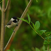 Carolina Chickadee (Poecile carolinensis) Nashville, TN
