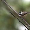 Carolina Chickadee (Poecile carolinensis) Pinckney Island NWR, SC