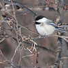 Black-capped Chickadee (Poecile atricapillus) St. Louis Co. MN