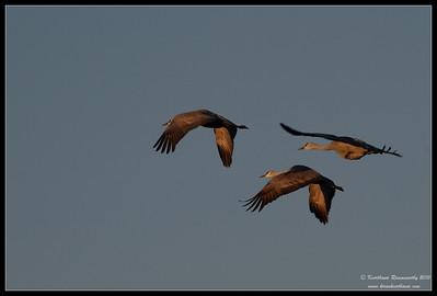 Sandhill Cranes early morning takeoff, Bosque Del Apache, Socorro, New Mexico, November 2010
