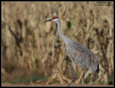 Sandhill Crane, Cibola National Wildlife Refuge, Arizona, November 2012