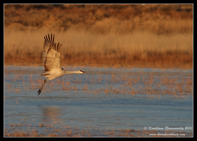 Sandhill Crane early morning takeoff from a frozen lake, Bosque Del Apache, Socorro, New Mexico, November 2010