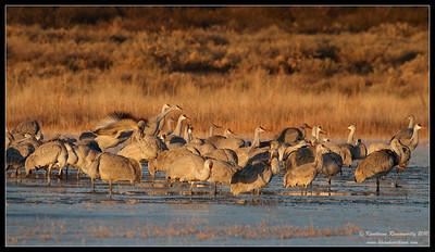 Sandhill Cranes in early morning light on a frozen lake, Bosque Del Apache, Socorro, New Mexico, November 2010