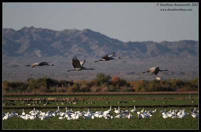 Sandhill Cranes at day break, Cibola National Wildlife Refuge, Arizona, November 2012