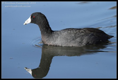 American Coot, Santee Lakes, San Diego County, California, February 2014