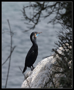 Brandt's Cormorant, La Jolla Cove, San Diego County, California, February 2011