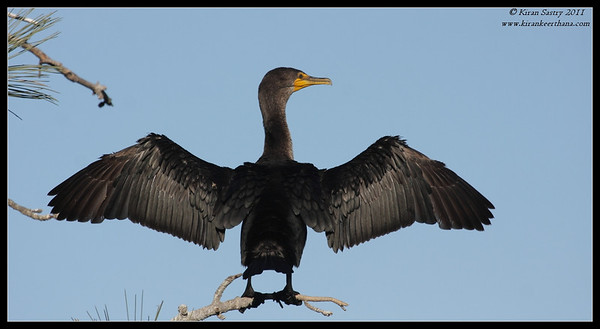 Double-crested Cormorant drying its wings, La Jolla Cove, San Diego County, California, December 2011