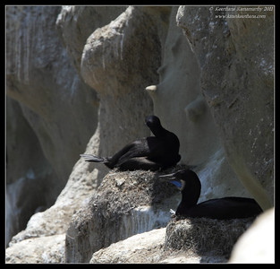 Brandt's Cormorants sitting on the nest, La Jolla Cove, San Diego County, California, June 2011