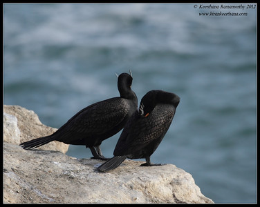 Double-crested Cormorants in breeding plumage, La Jolla Cove, San Diego County, California, April 2012