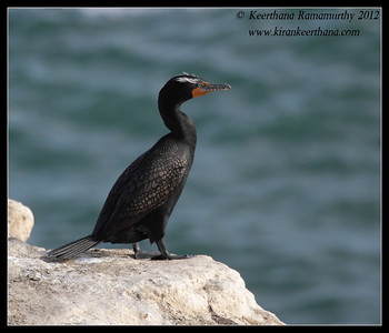 Double-crested Cormorant in breeding plumage, La Jolla Cove, San Diego County, California, April 2012