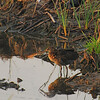 Clapper Rail (Rallus longirostris) South Padre Island, TX