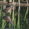 Virginia Rail (Rallus limicola) Kimball Bottoms, Bismarck, ND