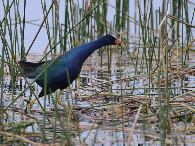Purple Gallinule (Porphyrio martinicus) Miami FL