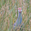 Gray-headed Swamphen (Porphyrio poliocephalus) Miami FL