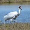Whooping Crane (Grus americana) Aransas NWR, Rockport TX