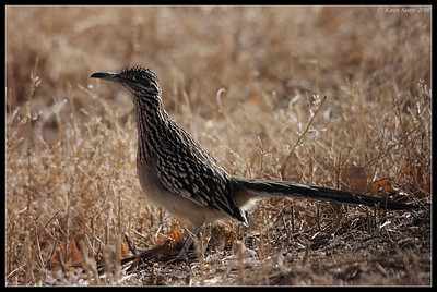 Greater Roadrunner, Bosque Del Apache, Socorro, New Mexico, November 2010