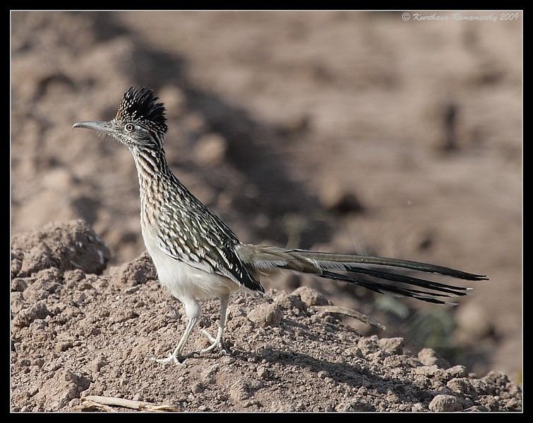 Greater Roadrunner, behind Sonny Bono Nature Center, Salton Sea, Imperial County, California, November 2009