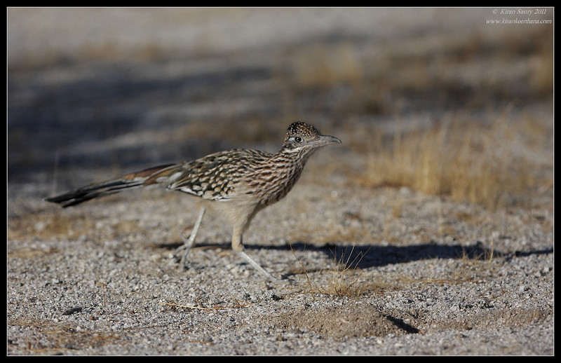 Greater Roadrunner, near Anza Borrego Desert State Park visitor center, San Diego County, California, October 2011
