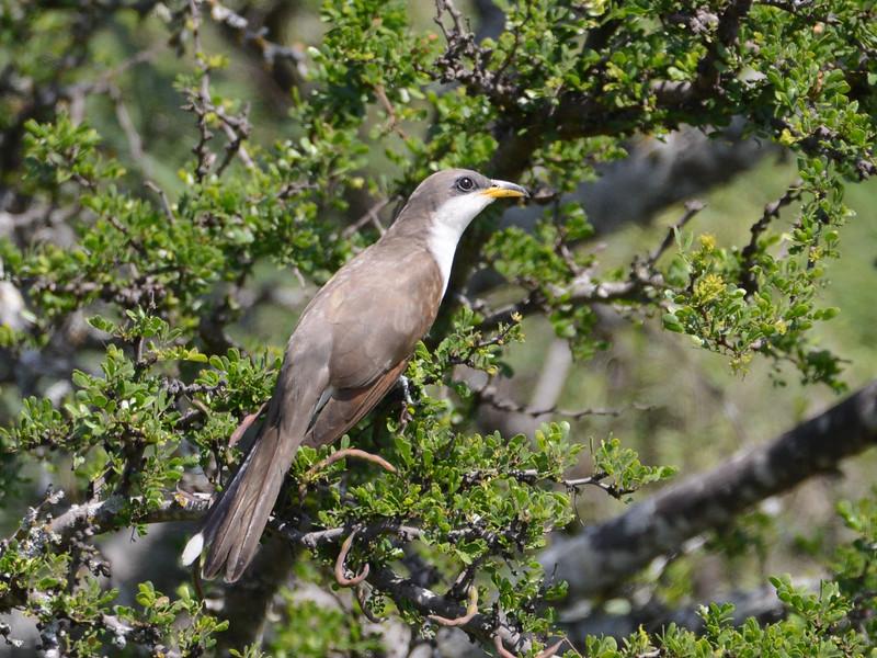 Yellow-billed Cuckoo (Coccyzus americanus) Bracketville TX