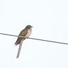 Black-billed Cuckoo (Coccyzus erythropthalmus) Rice Lake NWR, MN