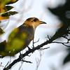 Mangrove Cuckoo (Coccyzus minor) Garden Key, Dry Tortugas NP, FL