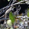 Yellow-billed Cuckoo (Coccyzus americanus) Garden Key, Dry Tortugas NP, FL