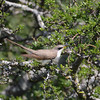 Yellow-billed Cuckoo (Coccyzus americanus) Bracketville TX