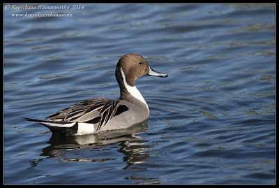 Northern Pintail male, Santee Lakes, San Diego County, California, February 2014