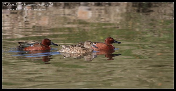 Cinnamon Teal family, Santee Lakes, San Diego County, California, February 2014