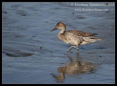 Blue-winged Teal Duck, Robb Field, San Diego River, San Diego County, California, February 2014