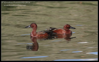 Cinnamon Teal males, Santee Lakes, San Diego County, California, February 2014