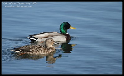 Mallard pair, Santee Lakes, San Diego County, California, February 2014