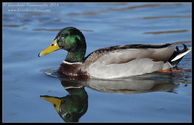 Mallard male, Santee Lakes, San Diego County, California, February 2014