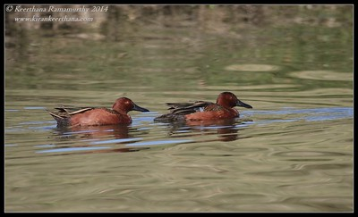 Cinnamon Teal guys, Santee Lakes, San Diego County, California, February 2014