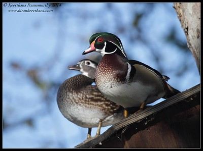 Wood Duck pair, Santee Lakes, San Diego County, California, February 2014