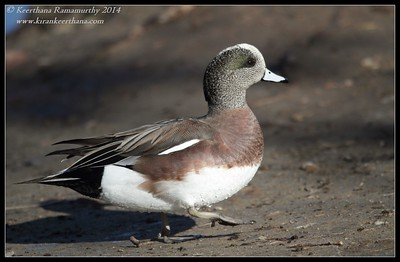 American Wigeon male, Santee Lakes, San Diego County, California, February 2014
