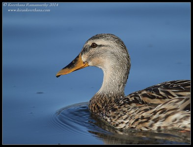 Mallard female, Santee Lakes, San Diego County, California, February 2014