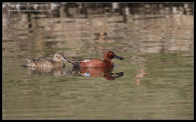 Cinnamon Teal pair, Santee Lakes, San Diego County, California, February 2014