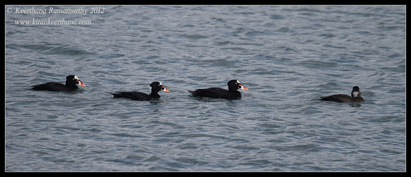 3 Surf Scoters Males and 1 Female, Coronado Ferry Landing, San Diego County, California, February 2012