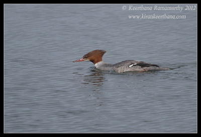 Common Merganser Duck, Robb Field, San Diego River, San Diego County, California, February 2012