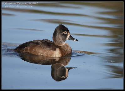 Ring-necked Duck, Santee Lakes, San Diego County, California, February 2014