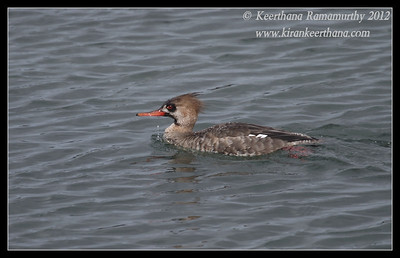 Red-breasted Merganser Juvenile, Robb Field, San Diego River, San Diego County, California, February 2012