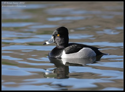 Ring-necked Duck Male, Santee Lakes, San Diego County, California, February 2014